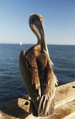 Are you a Pelican or a Pelican't?